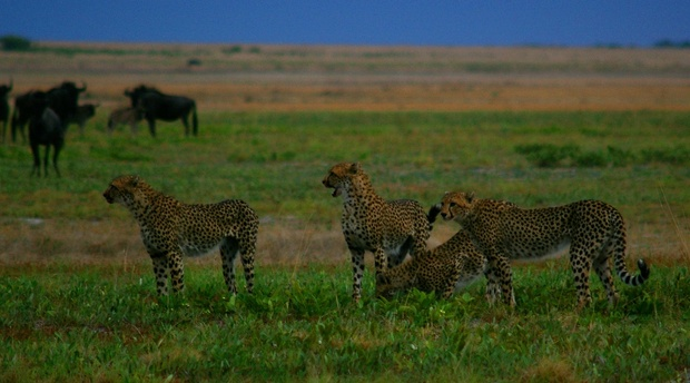 Liuwa Cheetah hunting